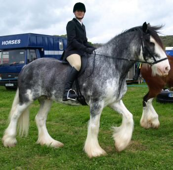 #Percheron #horse so beautiful and #BIG they are used for the big farm work, pull the sleigh, buckboards or hay.