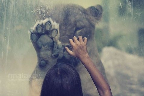 : Big Cat, Lion, High Five, Girls Generation, Hands, The Zoos, Photography, Animal, Bigcat