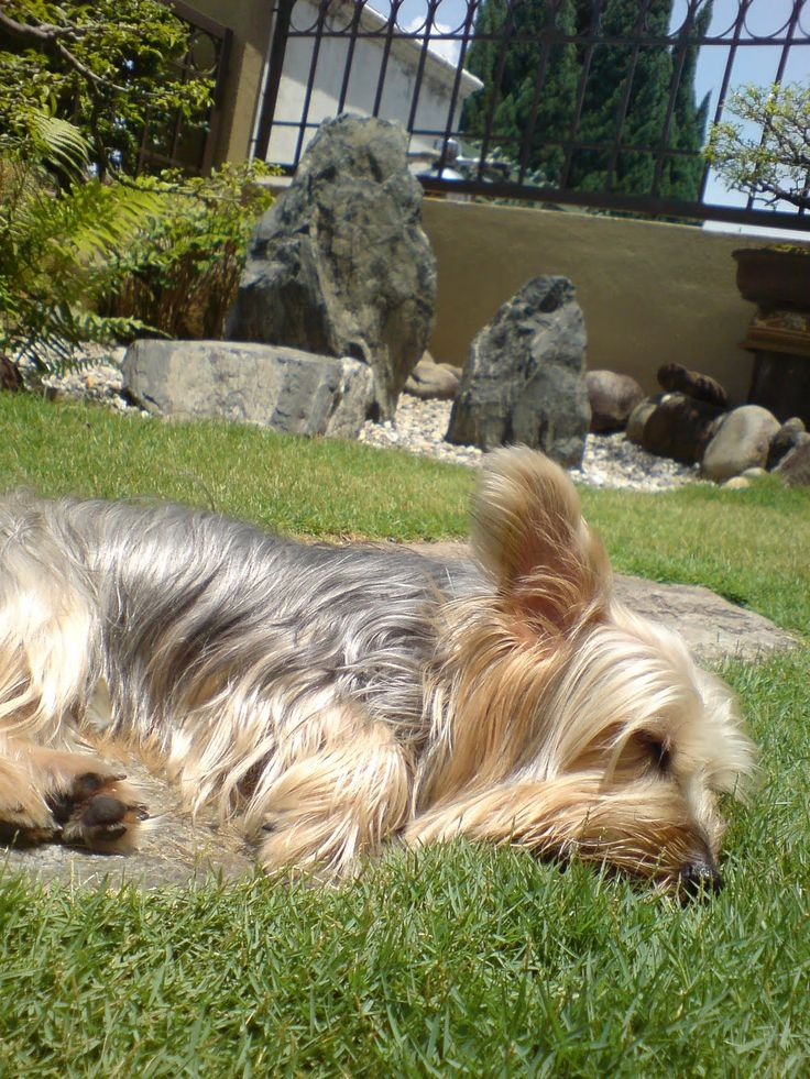 Australian Silky Terriers have dark, almond shaped eyes which can be blanketed inside a swath of long silky hair.
