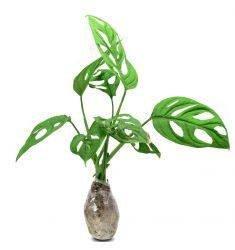Philodendron Swiss Rp 50,000