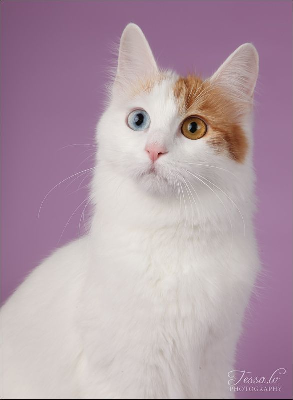 Turkish Van Cat  -  The Turkish Van is a big, beautiful cat with distinctive markings on its head and tail and an unusual love of water. Also known as the swimming cat, the Van loves to paddle its paws in streams, fish for its supper and even take a cooling dip in your bath.