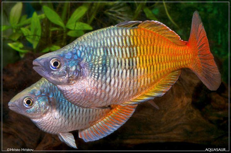 Boesemani Rainbow Cool Fish Pinterest