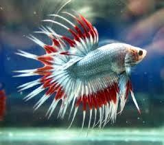 beta balığı ile ilgili görsel sonucu