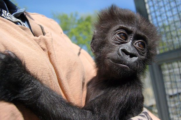 A Cute 3 month old Baby Gorilla at Louisville Zoo, Kentucky, who was injured several weeks ago is getting better as keepers care for her continuously