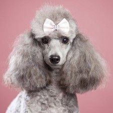 Sophie Cecilia – a silver toy French Poodle – is the founder and creative driver behind pooch central. A lady of leisure, she loves getting dressed up for special occasions and strutting her fabulous Dog's Life style.  Her Hills diet keeps her slim and trim and always looking her best for those off-guard photo opportunities. With great admiration and love for her human Sophie has a soft gentle nature and brings a touch of french elegance and sophistication to the under5foot team.