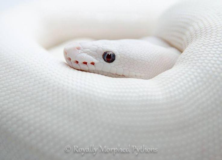 Píton Real ou Píton bola (Python regius) leucística, encontrada nos EUA. O leucismo é uma condição genética onde o animal é capaz de produzir pigmentos, mas estarão concentrados em algum lugar do corpo, como por exemplo nos olhos (diferente do albinismo).