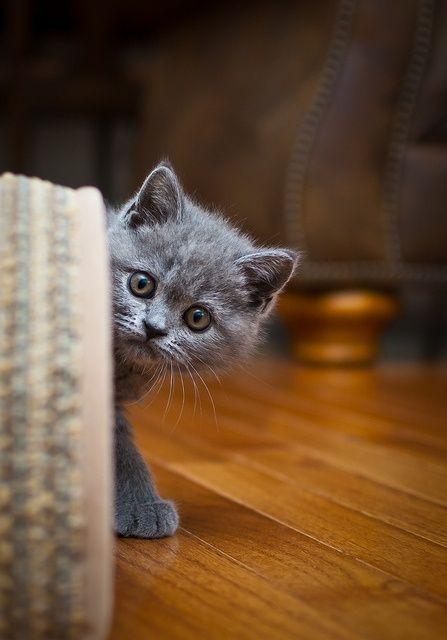 Curious cat.  ATTACKOFTHECUTE.COM