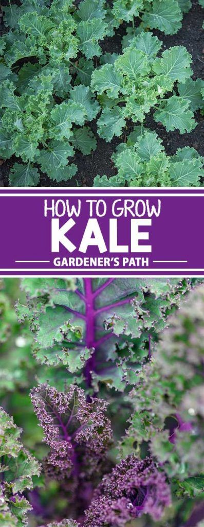 Kale is more than a health trend. It is a healthy, delicious, and easy-to-grow staple for most modern gardens. Learn how to get the best yield from this hearty grower with our guide on Gardener's Path.