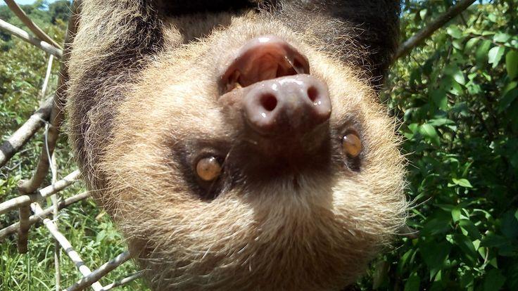 Patty is smiling because it's Sloth Sunday!   Patty está sonriendo porque hoy es Domingo del Perezoso! #SlothSunday #osoperezoso #KSTR #slothsmile