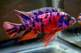 Live African Cichlid Fish Lake Malawi - I Just got one this exact color! He's gorgeous!
