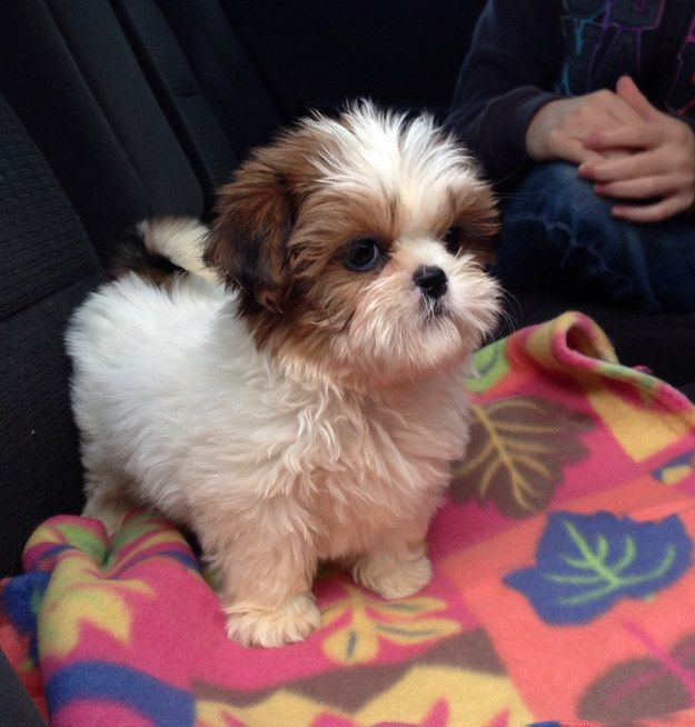 Shih Tzu | A Definitive Ranking Of The Cutest Puppies | Happy National Puppy Day!