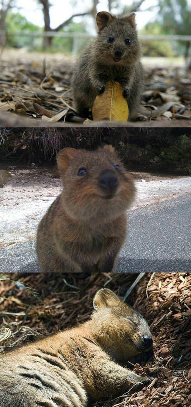 This Is A Quokka, The Happiest Looking Creature On The Planet