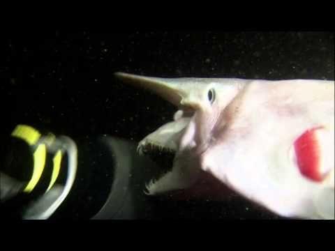 Goblin shark video, Greenland shark news   Earth   EarthSky UHM, THE MOUTH!