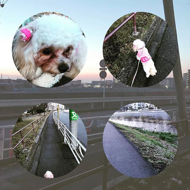今日も#朝さんぽ  #まだ寒い #今日はいい天気  #朝5時  でも意外に歩いてる人いてビックリ!  #今日も頑張ろう ✌️️✨ 鳩にビビる #愛犬  カラスの鳴き声に逃げる #愛犬 #チワプー