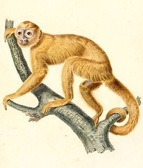 Le genre Cebus comprend les espèces de singes du Nouveau Monde appelées capucins ou sajous ou sapajous.