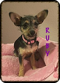Tempe, AZ - Yorkie, Yorkshire Terrier/Terrier (Unknown Type, Small) Mix. Meet Ruby, a puppy for adoption. http://www.adoptapet.com/pet/17031340-tempe-arizona-yorkie-yorkshire-terrier-mix
