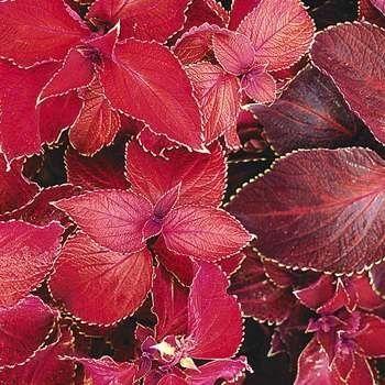 17 Best Images About Garden Coleus On Pinterest