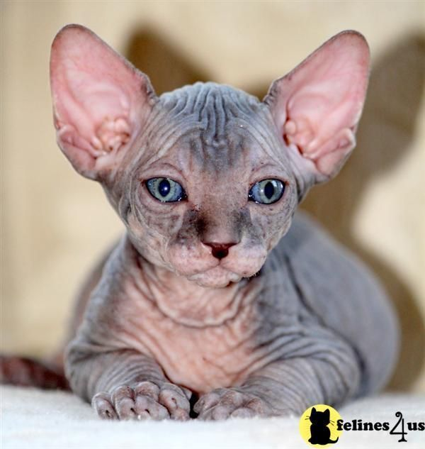 Pin On Hair Less Cats And Kittens