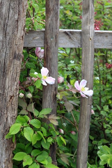 wild roses and old fence
