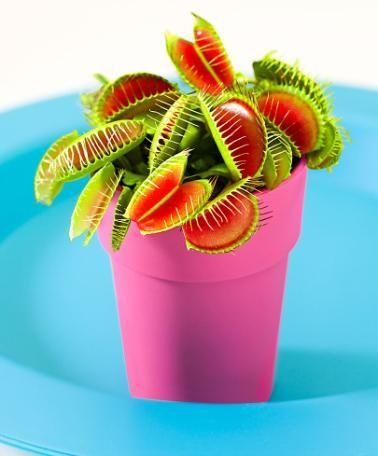 Venusfliegenfalle  Die Venusfliegenfalle (Dionaea Muscipula) ist ein wahrer Fliegenfänger! Wenn eine Fliege ein Blatt berührt, klappt es zu und die Borsten an den Rändern schließen sich. Die Venusfliegenfalle ist eine fleischfressende Pflanze. Am Ende der Stängel sind zwei Blätter, die wie eine Falle zuklappen können.