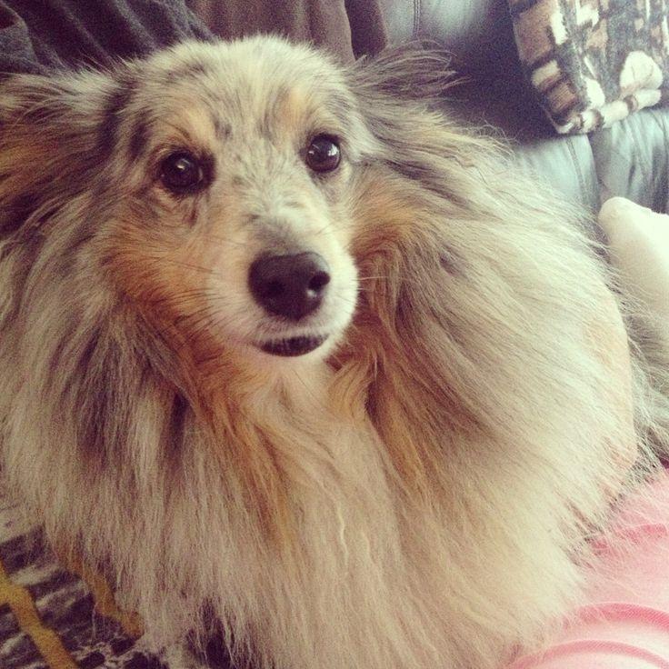 My first babyboy / RIP 29.4.2007-30.4.2015 / Shetlands sheepdog