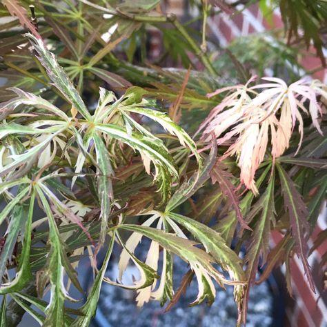 Japanese maple beni shidare