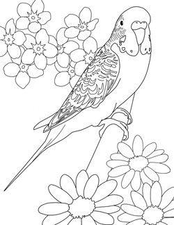 parakeet coloring pages Parakeet Coloring Pages   Art   Pinterest   Coloring pages  parakeet coloring pages