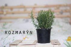 Velký bylinkový průvodce aneb co pěstovat na balkóně: Rozmarýn