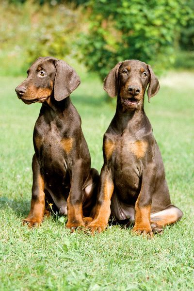 Two Doberman Puppies - Re-pinned from Forever Friends Fine Stationery & Favors http://foreverfriends.carlsoncraft.com
