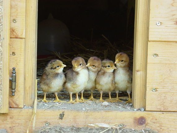 Learn how to raise baby chicks. The fourth post of a beginner's guide to raising chickens from The Old Farmer's Almanac.