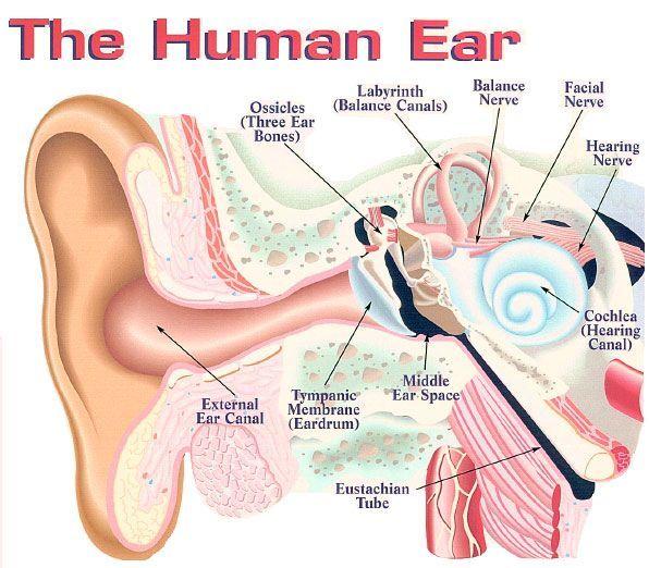 anatomical structure of ears ile ilgili görsel sonucu