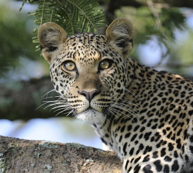 East African Leopard, Panthera pardus suahelicus | by wildlifepictures.se