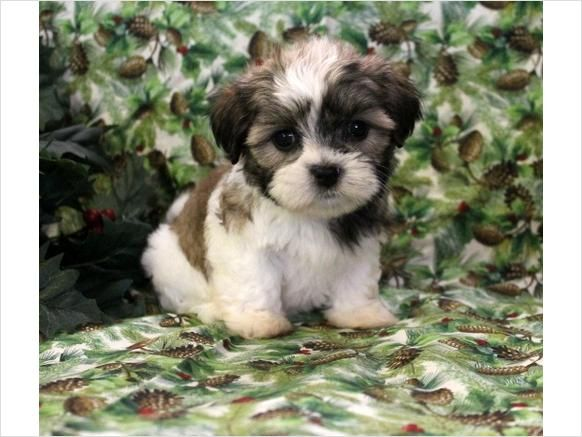 Havanese and Shih Tzu mix -