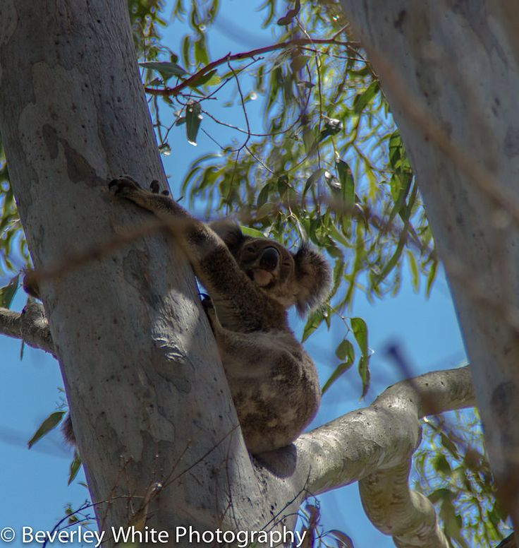 My first sighting of a wild Koala Bear.