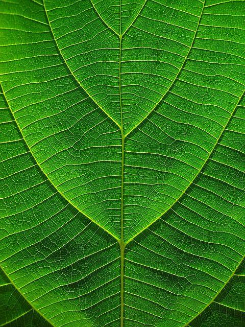 Textura natural: La hoja posee una textura corrugada, con lineas horizontales que le da, de alguna manera, un orden, que genera diferentes sombras en ella. Esto lo convierte en una textura.