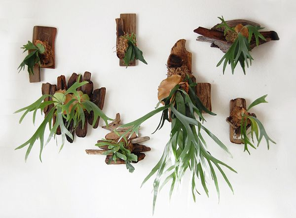 Staghorn ferns from Far Out Flora. Stag Horns, Staghorn Ferns, Driftwood, Blue Interiors, Hanging Plants, Green, Living Room, Air Plants, Hanging Gardens