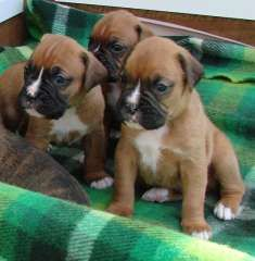 *** PUREBRED BOXER PUPPIES *** | puppies for sale Dubbo New South Wales | Boxer dogs for sale in Australia - http://www.pups4sale.com.au/dog-breed/403/Boxer.html