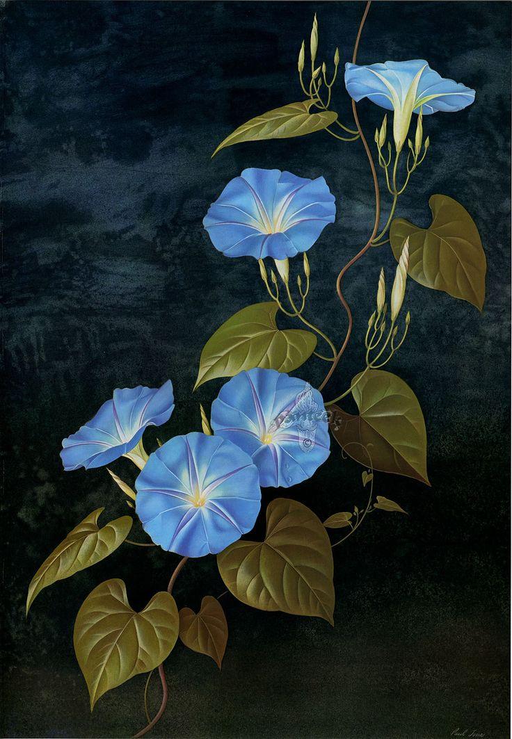 Simerenya Botanical art, Morning glory flowers