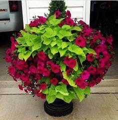 10 Container Gardening Ideas   Petunias and Sweet Potato Vine
