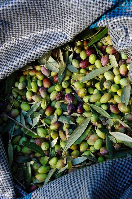 Olive harvest on the Greek island of Crete