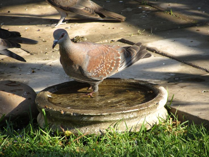 Rock Pigeon enjoying a bath.