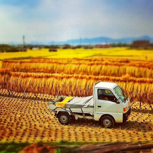 Golden rice harvest in Ehime prefecture (Photo by natora)
