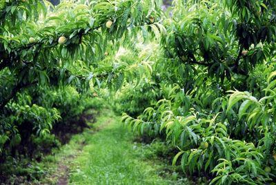 Cultivo de pêssego. Galeria de Fotos | Prefeitura Municipal de Araucária