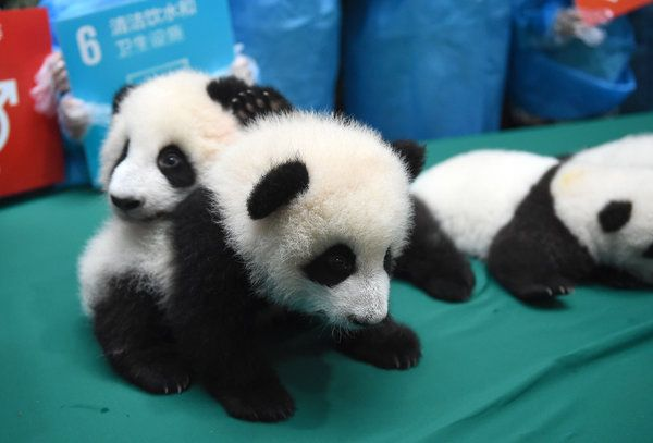 CHENGDU, CHINA - OCTOBER 24:  (CHINA OUT) Baby giant pandas lie in a line during the opening ceremony of 2016 panda kindergarten at Chengdu Research Base of Giant Panda Breeding on October 24, 2015 in Chengdu, Sichuan Province of China.13 giant pandas including six pairs of twin pandas born at Chengdu Research Base of Giant Panda Breeding in 2015.  (Photo by ChinaFotoPress/ChinaFotoPress via Getty Images)