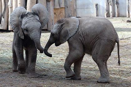 Слон оказался самым бодрствующим млекопитающим http://mnogomerie.ru/2017/03/02/slon-okazalsia-samym-bodrstvyushim-mlekopitaushim/  Биологи из Школы анатомических наук Витватерсрандского университета (ЮАР) доказали, что среди млекопитающих меньше всего спят африканские слоны. Соответствующее исследование опубликовано в журнале PLOS ONE, кратко о нем сообщает Reuters. В среднем крупнейшие наземные животные спят по два часа в сутки в период времени между 2 и 6 часами утра. Максимальная…