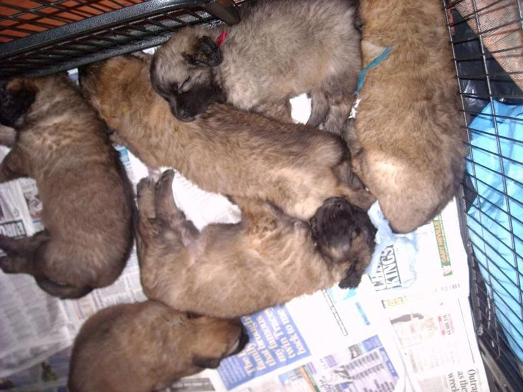 Leonberger Dogs Puppy for Sale