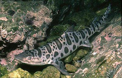 Cephaloscyllium ventriosum - Swell Shark