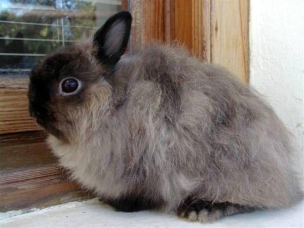 Где держать декоративного кролика. Выбор места в доме  Если вы собрались завести кролика, важно, чтобы к тому были готовы не только все домочадцы, но и сам дом. То есть, необходимо, прежде всего, подготовить место для будущего питомца. Понятное дело, что кролик будет жить либо в клетке, либо в небольшом вольере, но ему нужно будет где-то гулять. Поэтому в этой комнате нужно будет спрятать все провода, убрать все лишнее, что сможет попасться под зубы зверьку. Если это невозможно, тогда…