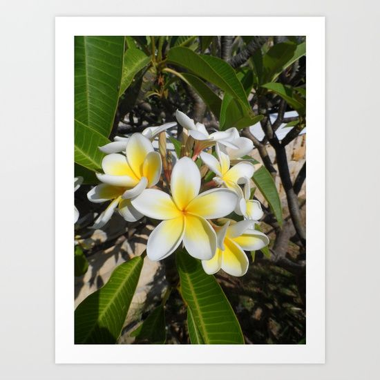 The Frangipani flower as found on the island of Karpathos in Greece. #greece #karpathos #photography #flower #yellow #white #flora #bloomer #tropical #exotic #flowers #nature #beauty #frangipani  #plumeria
