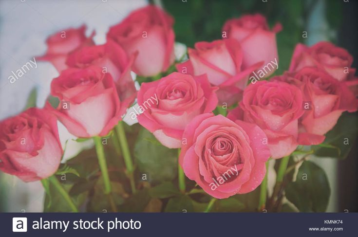 Download this stock image: A large bouquet of beautiful red roses. Presents closeup. - KMNK74 from Alamy's library of millions of high resolution stock photos, illustrations and vectors.